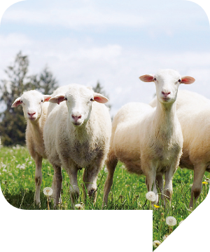 Schafe auf der Weide, Fritz Doppelmayer GmbH